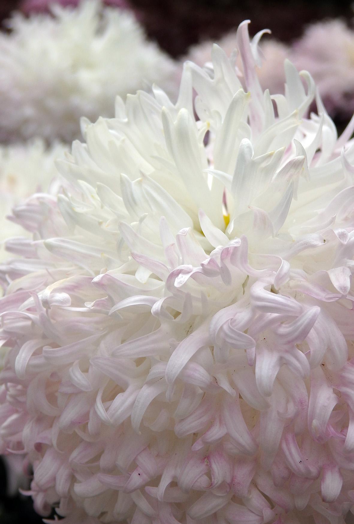 華麗な花びらのキク新品種